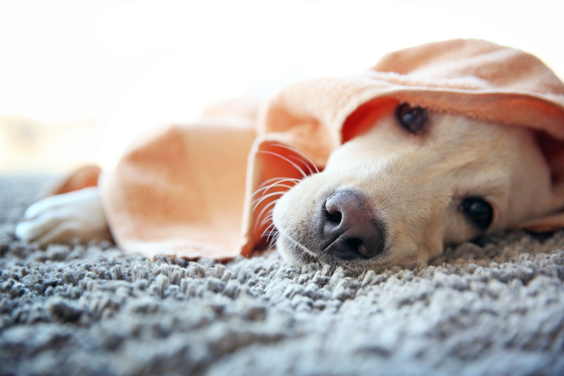 pet stains in carpet